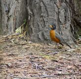 American Robin. The American Robin is the size of a blackbird and has different colouring to the Robin seen in the UK. This one was snapped in Yosemite National Stock Image