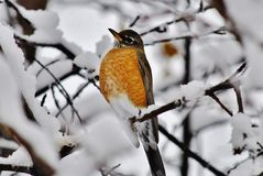 American robin in the snow. American robin perched on a snow covered tree branch Stock Images