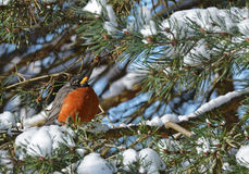 American Robin in snow Stock Images