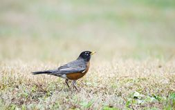 American Robin red breast bird, Monroe, Georgia, USA. American Robin songbird on grass looking for worms. Photographed on birding hike in Walton County, Georgia Royalty Free Stock Photo