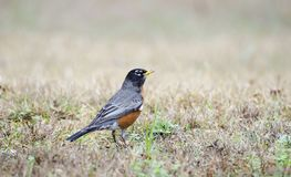 American Robin red breast bird, Monroe, Georgia, USA. American Robin songbird on grass looking for worms. Photographed on birding hike in Walton County, Georgia stock images