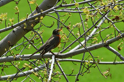 American robin in a spring tree Stock Images