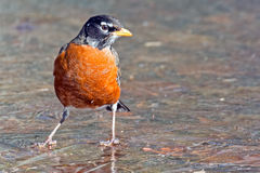 American Robin Royalty Free Stock Photography