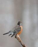American Robin. On stick with blurred background Stock Images