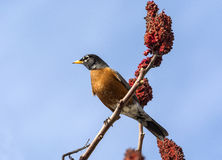 American Robin on a sumac staghorn Stock Images