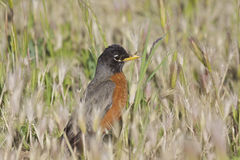 American Robin in Tall Grass Royalty Free Stock Photos
