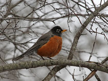 American Robin in a Tree Stock Image