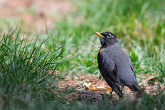 American Robin (Turdus Migratorious) Stock Photos