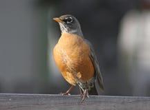 Free American Robin (Turdus Migratorius) Stock Image - 10555481