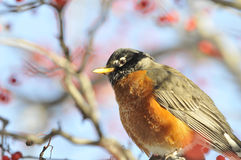 American Robin: Turdus migratorius. The largest member of North American thrush family photographed in Manhattan perched on a winterberry tree stock photos