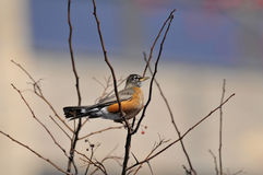 American Robin: Turdus migratorius. The largest member of North American thrush family photographed in Manhattan perched on a winterberry tree stock images