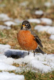 American Robin (Turdus migratorius). On a lawn with snow Stock Images
