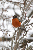 American Robin (Turdus migratorius). In a tree with snow Royalty Free Stock Photography