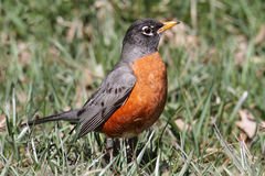 American Robin (Turdus migratorius) Stock Photos