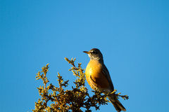 American Robin, Turdus migratorius Royalty Free Stock Photography