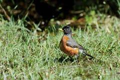 American robin, turdus migratorius Stock Image