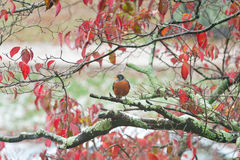American Robin (Turdus migratorius). An American Robin (Turdus migratorius) in a tree in the fall. Snow is on the branch and on the ground in the background Royalty Free Stock Photos