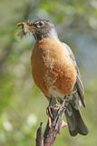 American Robin (Turdus migratorius). With insects in his beak Stock Image