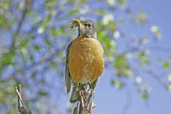 American Robin (Turdus migratorius). With insects in his beak Stock Photography