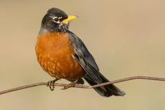 Free American Robin - Turdus Migratorius Royalty Free Stock Image - 53824726