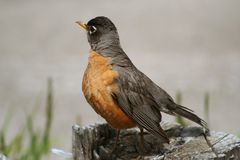 American Robin (Turdus migratorius). The American Robin (Turdus migratorius), a member of the thrush family, is usually associated with the arrival of spring but Stock Image