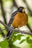 American robin Turdus migratorius. American robin ,Turdus migratorius is a migratory songbird in the thrush family Stock Image