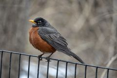 American robin Turdus migratorius. Is a migratory songbird in the thrush family Royalty Free Stock Photography