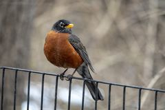 American robin Turdus migratorius. Is a migratory songbird in the thrush family Royalty Free Stock Photo