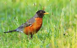American robin Turdus migratorius Royalty Free Stock Photography
