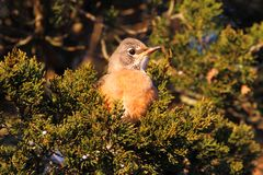 American Robin (Turdus migratorius) Royalty Free Stock Photo
