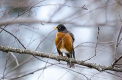 American Robin bird on branch fluffed up preening, Athens, Georgia. The American Robin, Turdus migratorius, is a common Thrush songbird found throughout North Stock Images