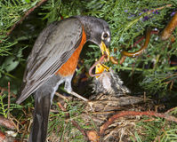 American robin (Turdus migratorius) feeding nestlings in the nest. Royalty Free Stock Photos