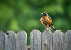 American robin (Turdus migratorius). Fluffing feathers on backyard fence. Natural green background with copy space Royalty Free Stock Image