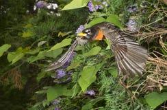 American robin (Turdus migratorius) flying. Georgia, USA Stock Photo