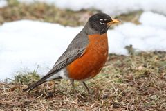 American Robin (Turdus migratorius). On a lawn with snow Stock Photography