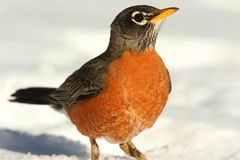 American Robin (Turdus migratorius). On a lawn with snow Stock Photos