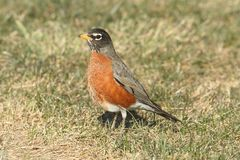 American Robin (Turdus migratorius). Looking for worms on a lawn Stock Image