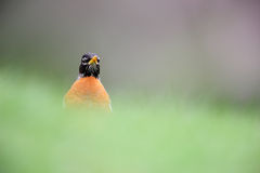 American Robin (Turdus migratorius migratorius). Male feeding in grass with grass as foreground and cherry tree in background Stock Photos