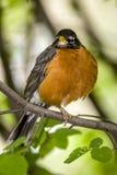 American robin Turdus migratorius. American robin ,Turdus migratorius is a migratory songbird in the thrush family Stock Photo