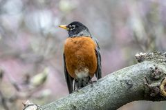 American robin Turdus migratorius. Is a migratory songbird in the thrush family Stock Image