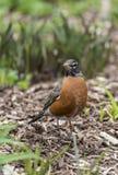 American robin (Turdus migratorius) Royalty Free Stock Photography
