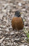 American robin (Turdus migratorius). Is a migratory songbird in the thrush family Royalty Free Stock Image