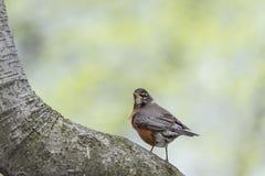 American robin (Turdus migratorius) Stock Photos