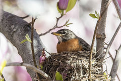 American robin (Turdus migratorius). Is a migratory songbird in the thrush family Stock Photography