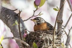 American robin (Turdus migratorius) Stock Photography