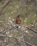 American robin (Turdus migratorius) Stock Photo