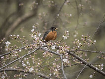 American robin (Turdus migratorius). Is a migratory songbird in the thrush family Stock Images