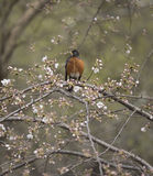 American robin (Turdus migratorius). Is a migratory songbird in the thrush family Royalty Free Stock Photo