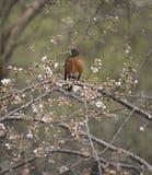 American robin (Turdus migratorius) Royalty Free Stock Photo