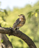 American robin,Turdus migratorius. Is a migratory songbird in the thrush family Royalty Free Stock Images